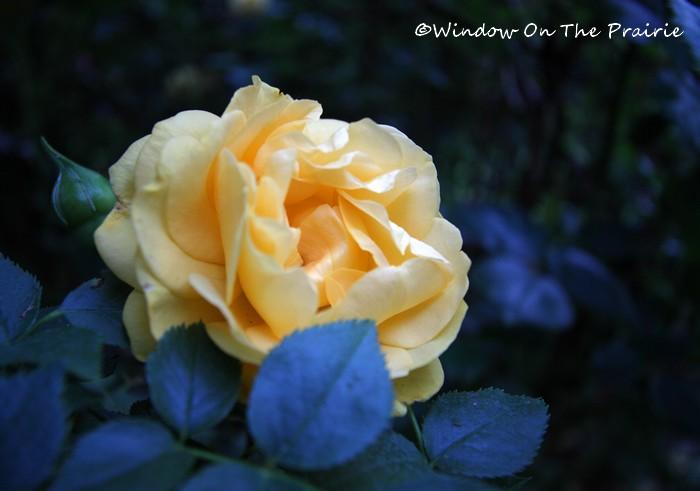 Rose_Garden17