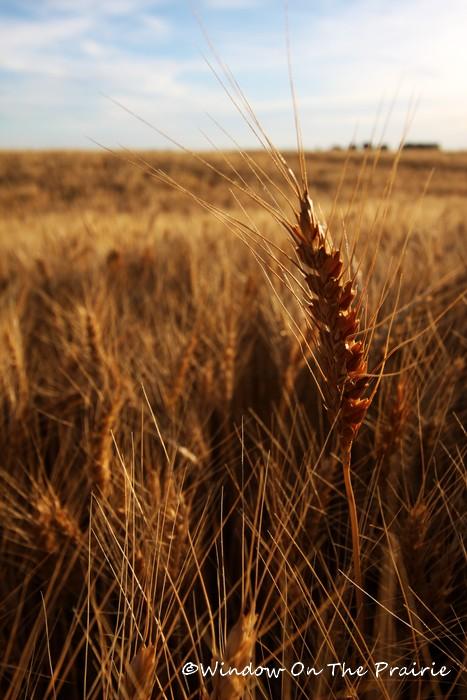 Wheat04