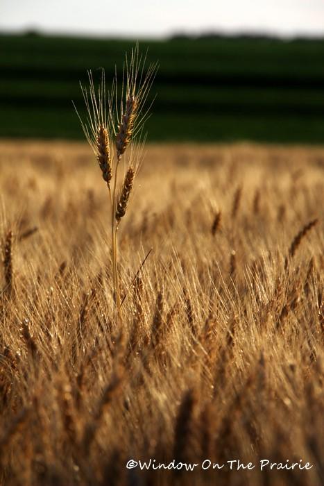 Wheat05