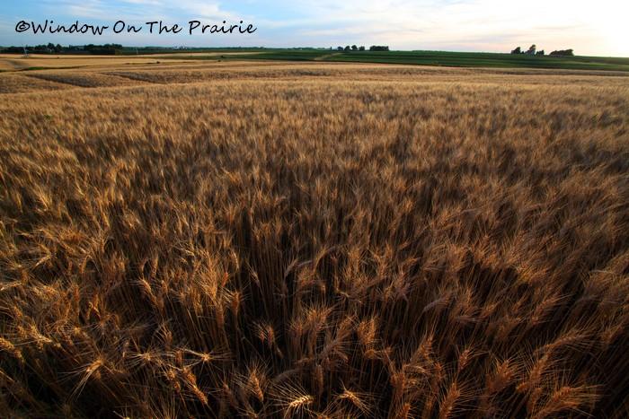 Wheat08
