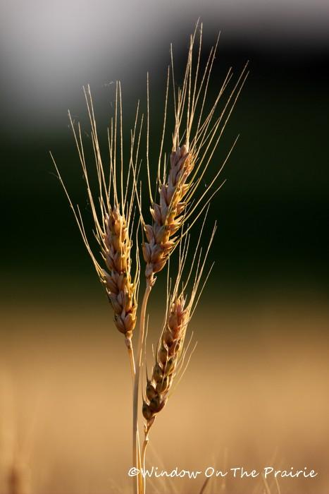 Wheat10