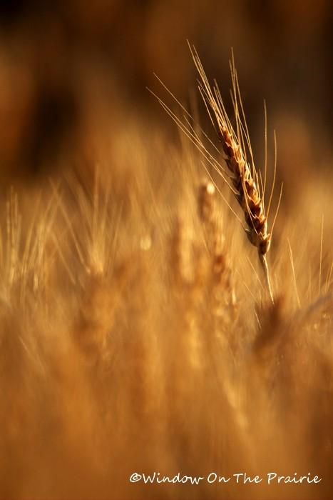 Wheat12
