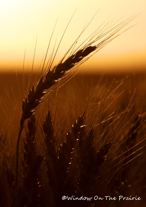 Wheat13