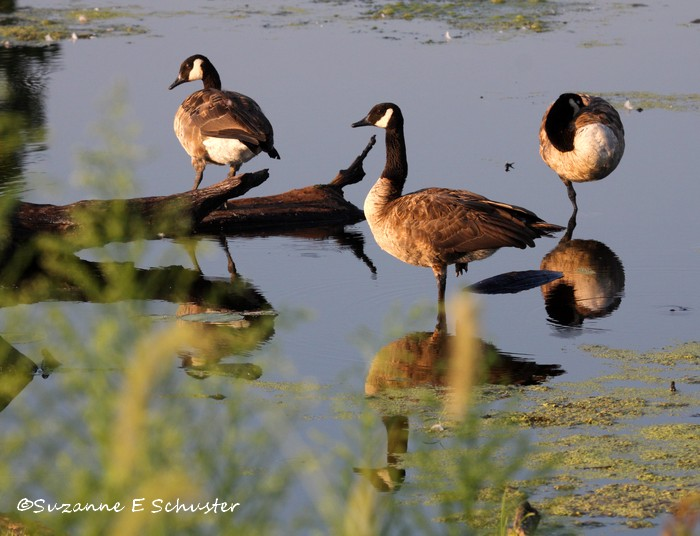 Canada_Geese01