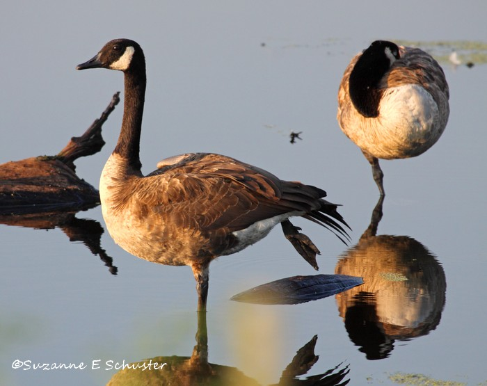 Canada_Geese02