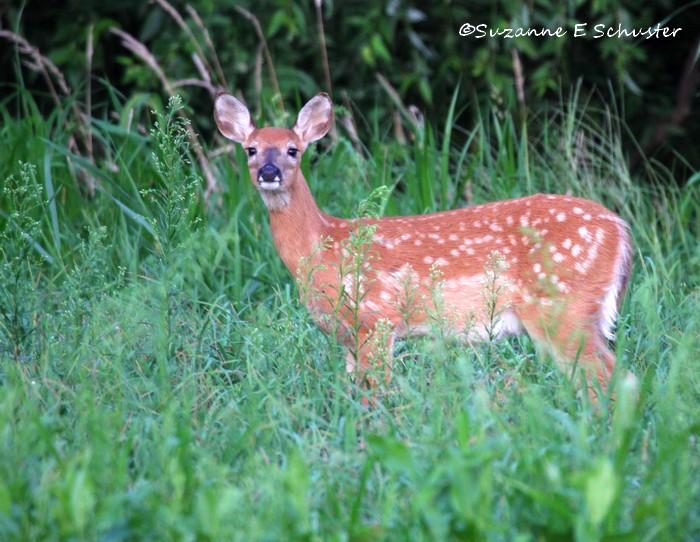 deer07