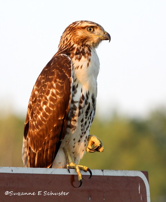 hawk05