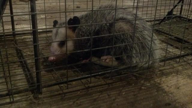 Opossum Kansas opossum kansas « ...