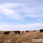 A Cattle Visit