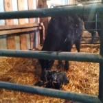 Hormonal Heifer