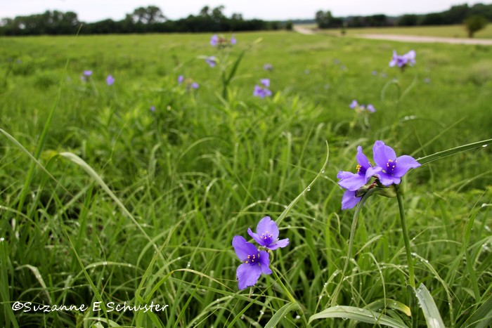 Prairie_Wildflowers04