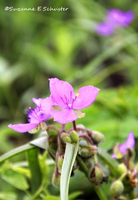 Prairie_Wildflowers05
