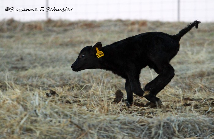 Calves09