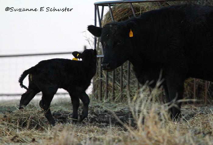 Calves10