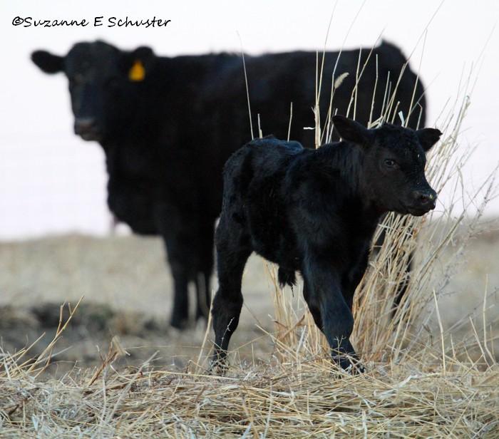 Calves11