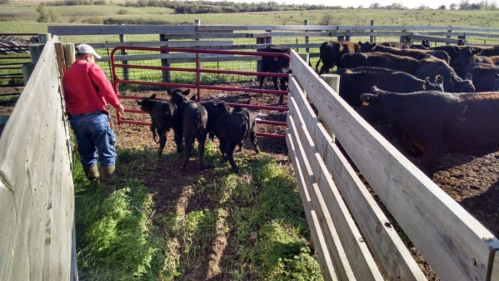 Spring Cattle Move (15)