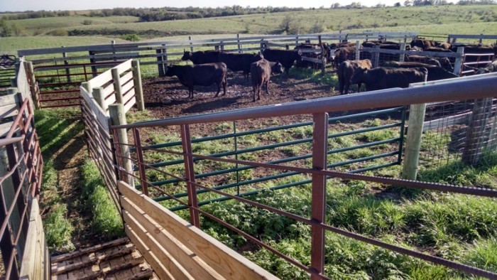 Spring Cattle Move (16)