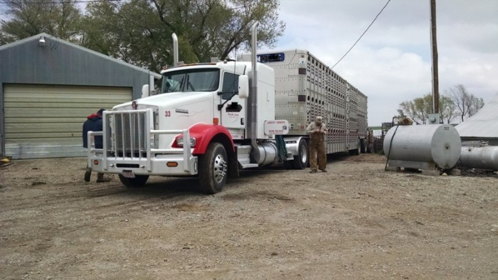 Spring Cattle Move (6)