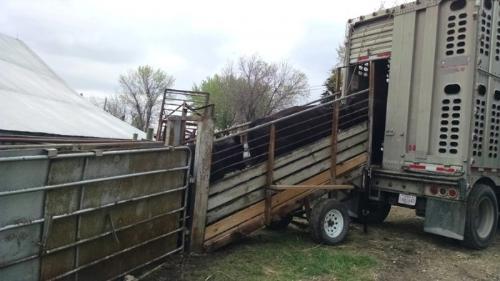 Spring Cattle Move (7)
