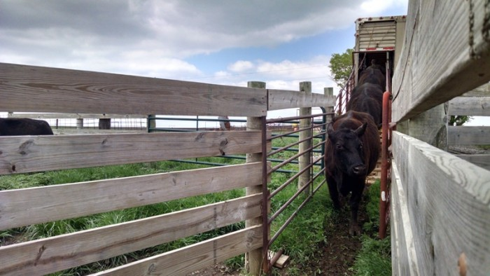 Spring Cattle Move (9)