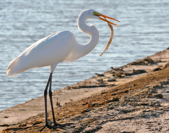 Great_Egret_Fish