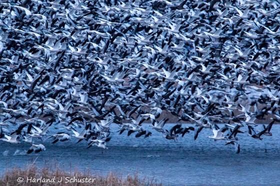 Snow Geese 2